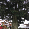 法光寺のシイノキ