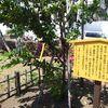 2011年生まれの桜