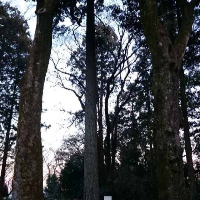 清雲寺のカシの木二対