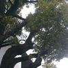街を見守るクスノキの大木