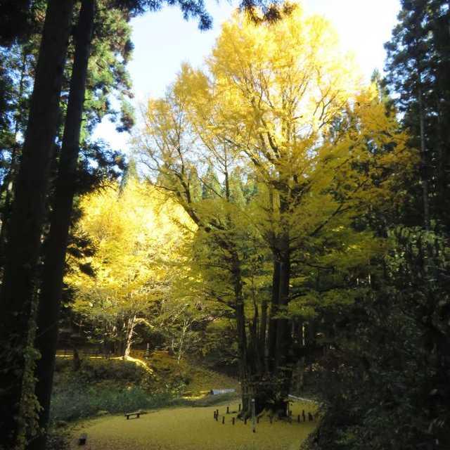 銀杏山神社でしあわせの黄色いじゅうたん