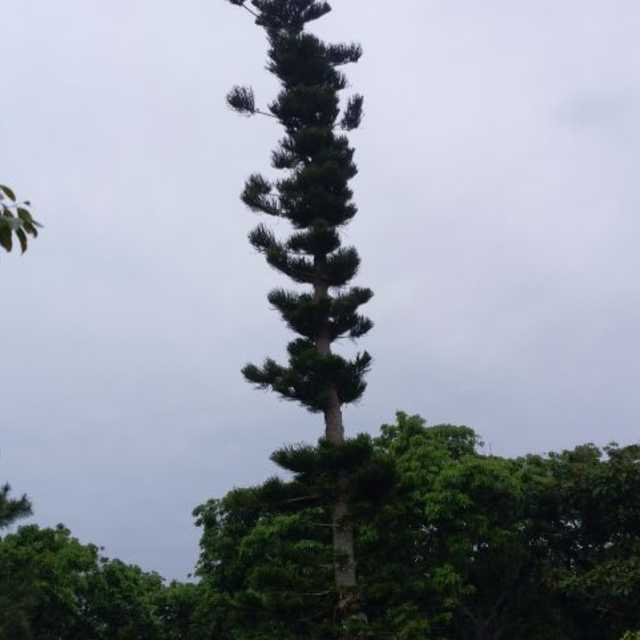 ナンヨウスギ (バンナ公園の木 シリーズ)