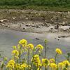 川には鴨がいます
