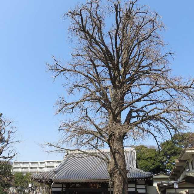 常円寺の大イチョウ