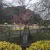 紅白枝垂れ桜