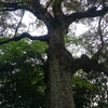 富部神社の御神木の楠