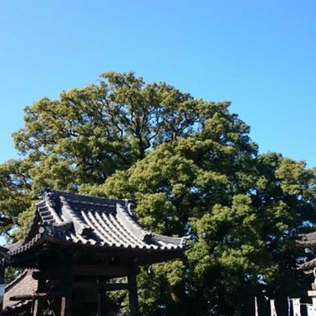 樹齢700年!?