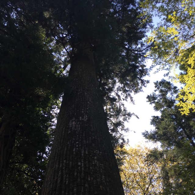 水沢の観音杉