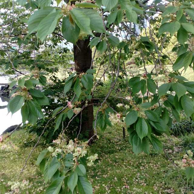 緑の桜、御衣黄(ギョイコウ)