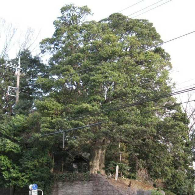 モチの巨木