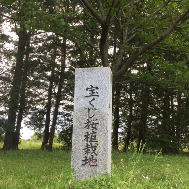 宝くじ桜植栽地