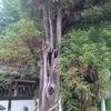 御手植の杉