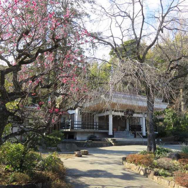 真福寺のイトヒバ