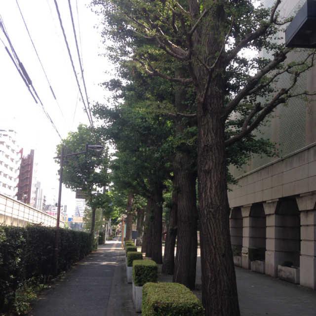 銀杏と椎の並木