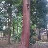 ねりまの名木  諏訪神社のヒノキ