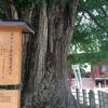 樹齢約千二百年の雄株