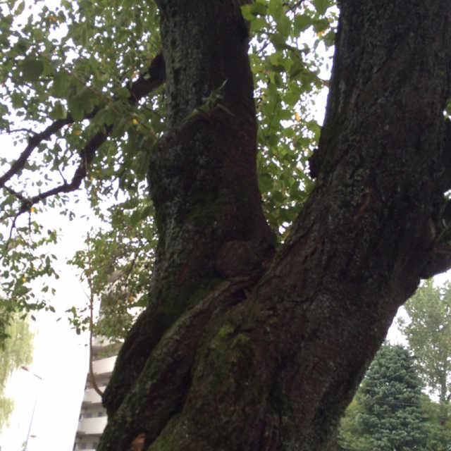 小川駅の桜の木