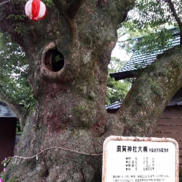 須賀神社の大楠