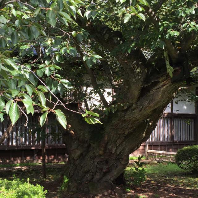 日本最古のソメイヨシ