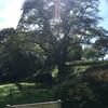 鉢形城の桜 エドヒガン