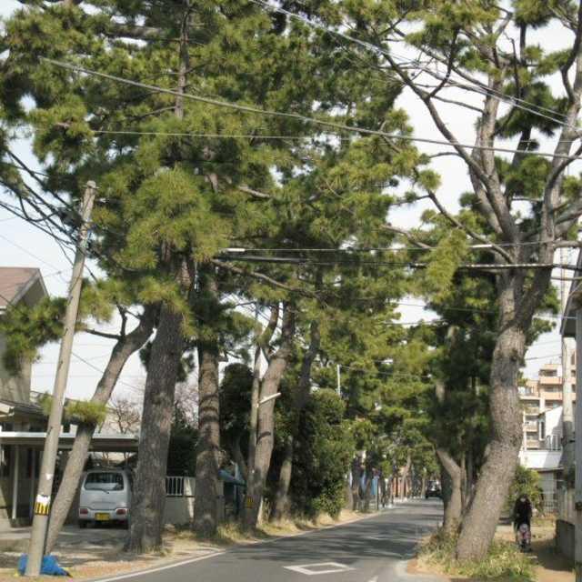 鶴嶺神社参道の松並木
