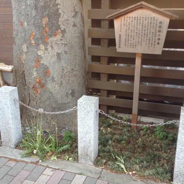 白龍欅(はくりゅうけやき)