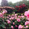 薔薇の広場