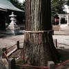 熊野神社の御神木