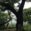 外堀公園には桜の木が