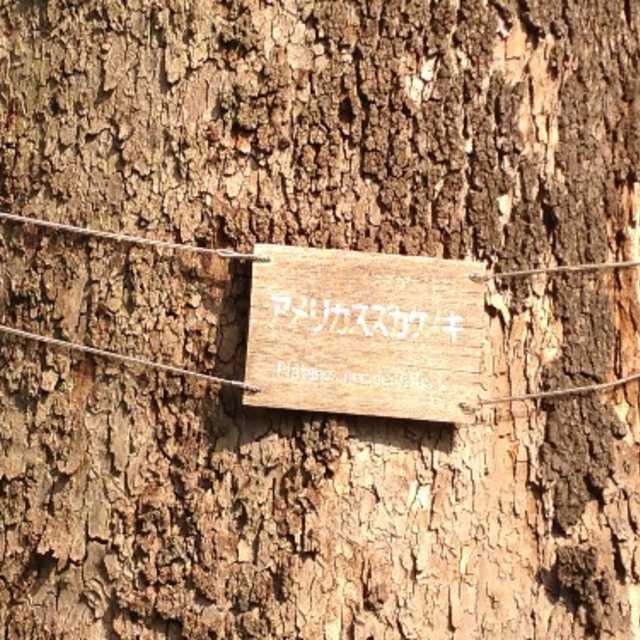 都内の街路樹はこの樹の子孫?