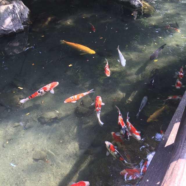 鯉の住む川