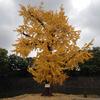 このイチョウの木は