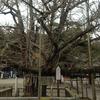 誕生寺の大いちょう