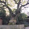 熱田神宮の楠