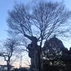 竃神社の保存木