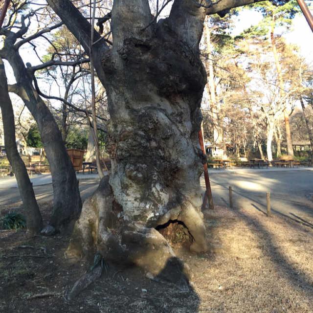 都立公園で一番太い樹木