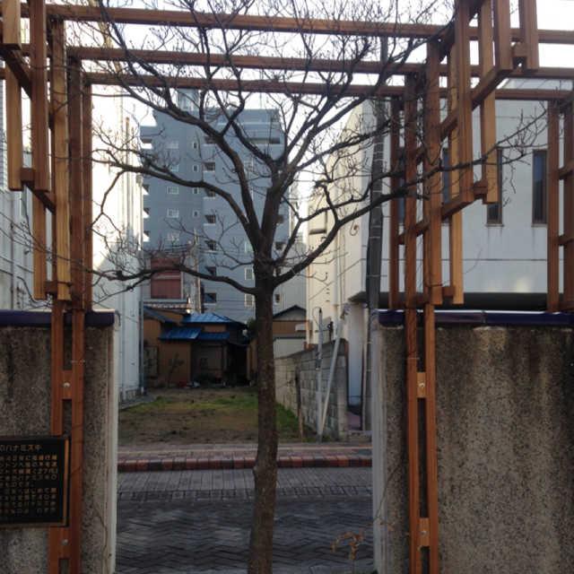 親水広場のハナミズキ
