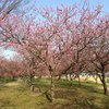 古河総合公園の桃林