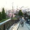 桜を見下ろす橋