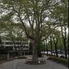 大きなプラタナスの木♪