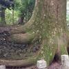 たこ杉(蛸杉)