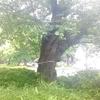 ソメイヨシノ原木