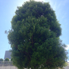 練馬駅北口前の樹木の