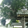 梅岩寺のケヤキ