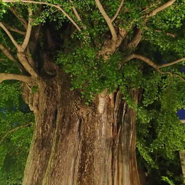 浅草寺の神木