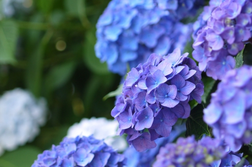 2018年茨城県の紫陽花名所