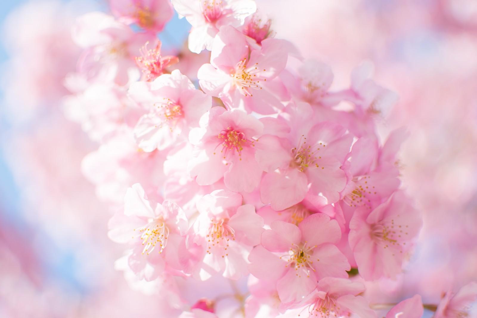 桜舞うなか、咲かせる想い