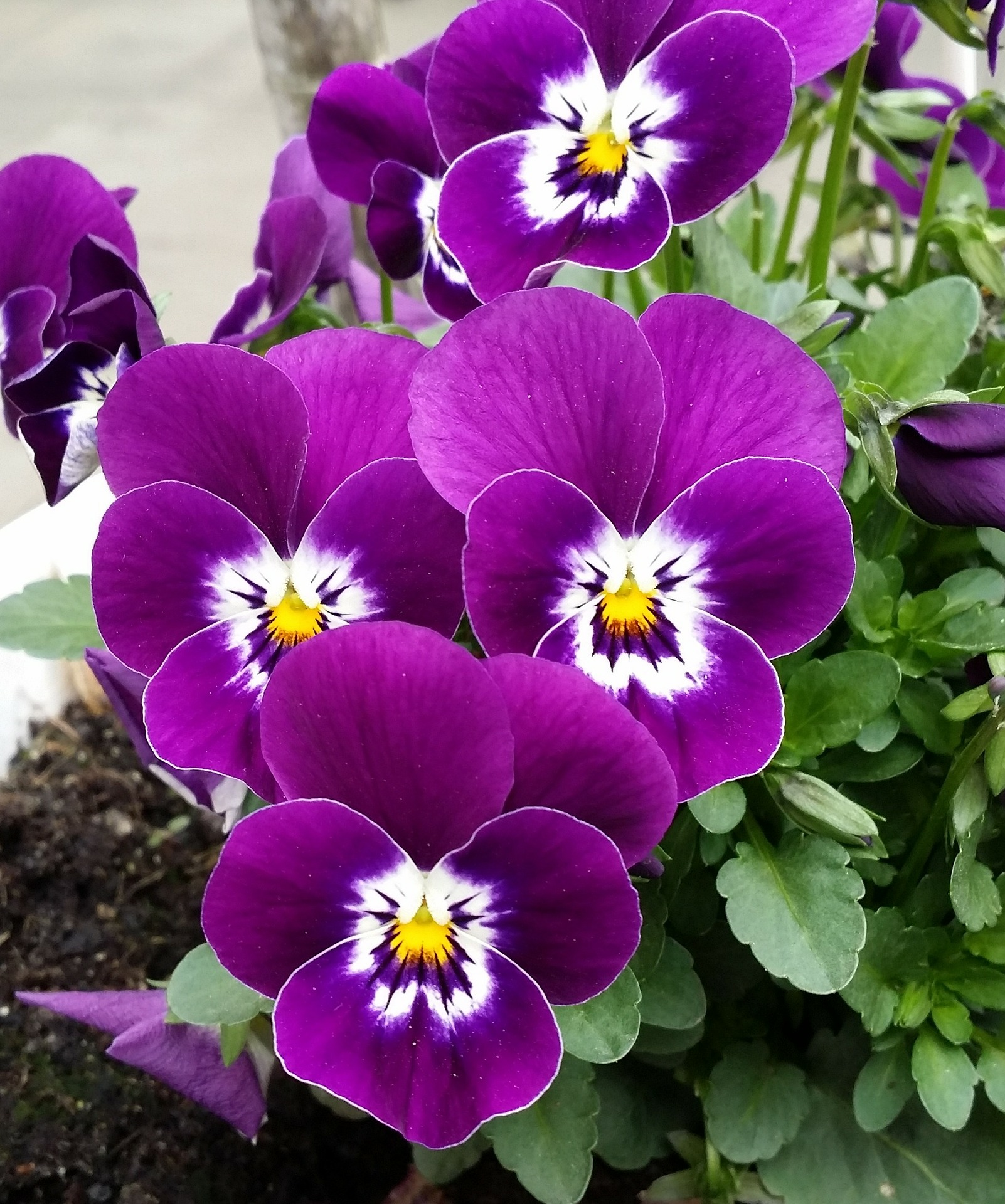 pansy-PURPLE.jpg