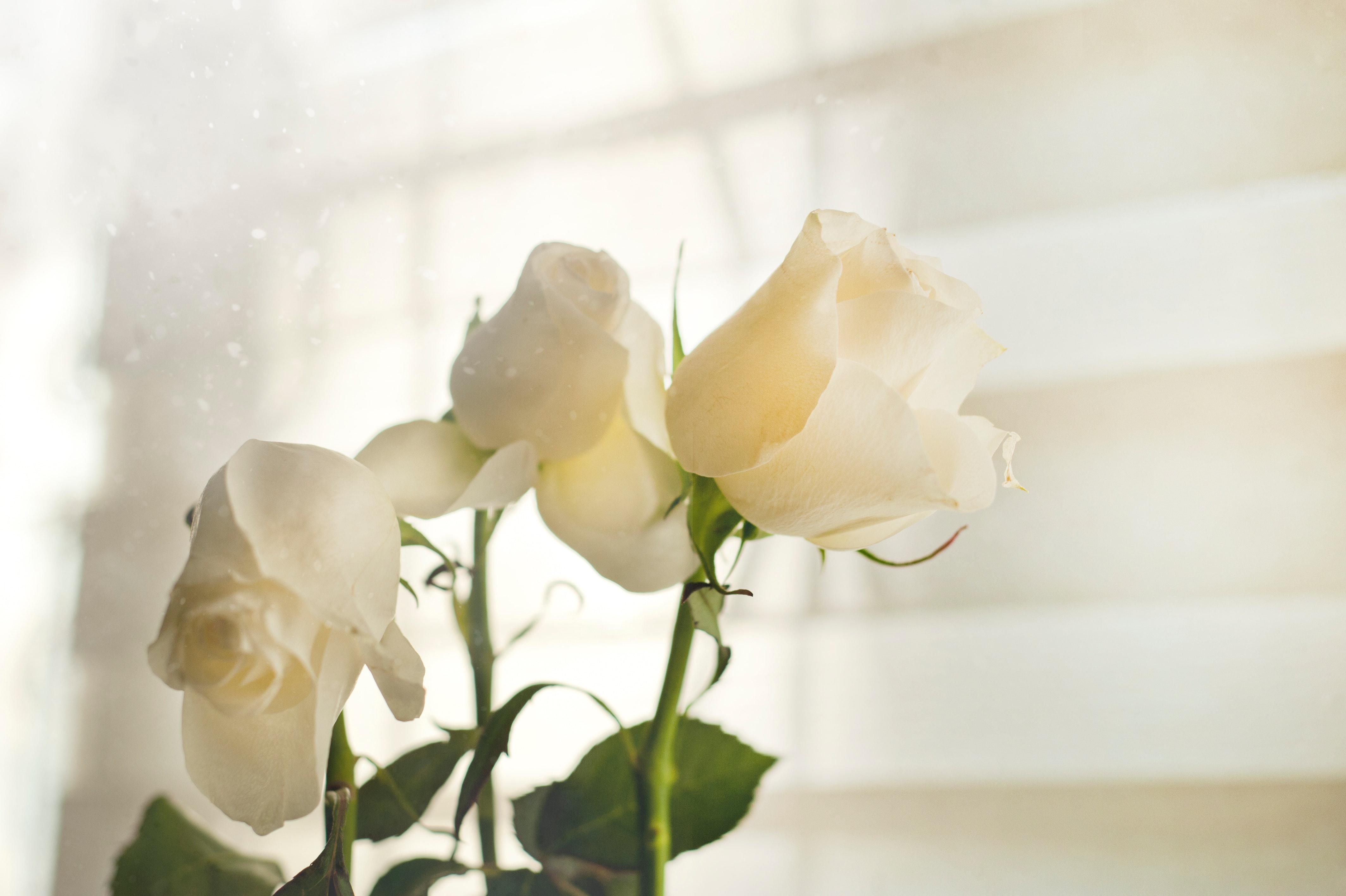 白いバラを寝室に飾る