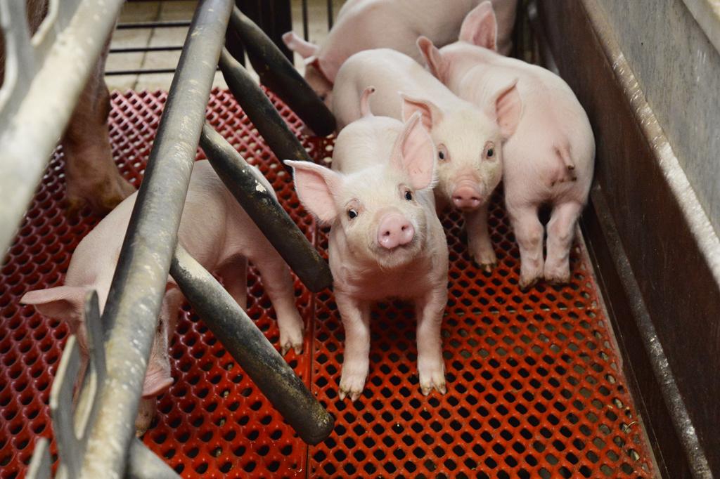 飼育される豚